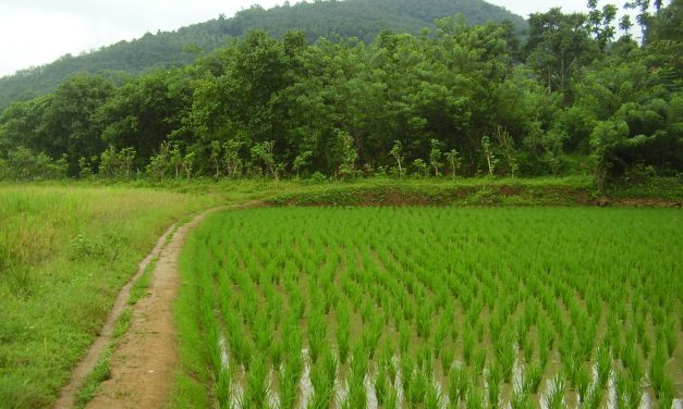 Odisha University of Agriculture to launch 9 new varieties paddy seeds in New Year