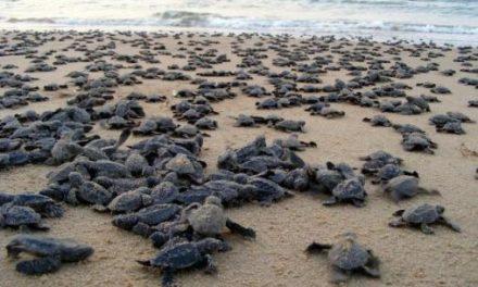 Eggs damage as Olive ridley turtles overcrowd Gahirmatha beach in Odisha