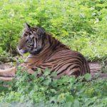 Return of Satkosia tigress Sundari not now