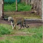Outcry over tigress Avni's death makes Odisha forest officials nervous