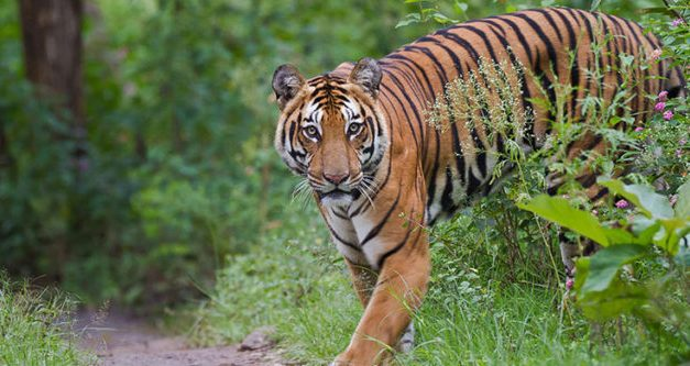 Odisha asks MP to take back Tigress Sundari as NTCA suspends ISTR programme