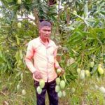 Koraput tribals export mangoes to Delhi, Vizag