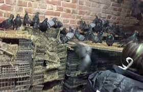 Odisha forest officials probing strange case of pigeon smuggling