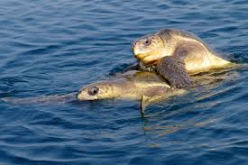 Odisha launches drive to protect endangered Olive Ridley turtles