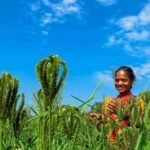 Odisha tribals take up organic millet cultivation resisting commercial maize farming