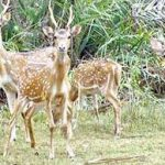 Deer population in Balukhand Wildlife Sanctuary in trap