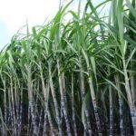 Union cabinet enhances sugarcane price for mills