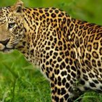 Odisha forest officials arrest 4 poachers, seize leopard skin