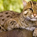 Fishing Cat New Ambassador of Ramsar Site Cilika Lake