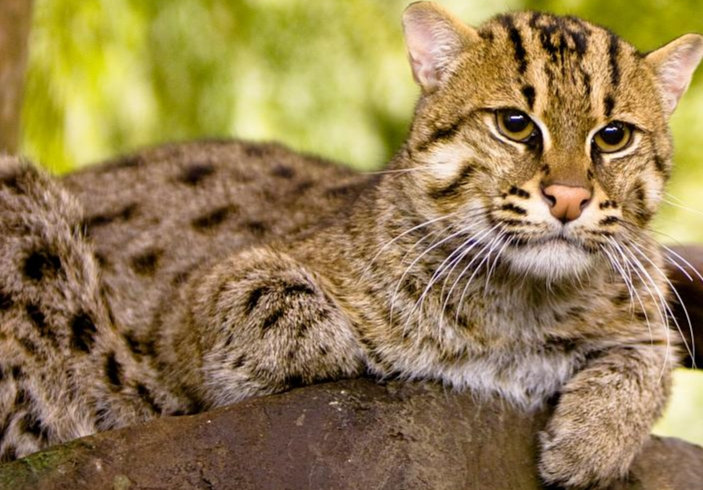 Fishing Cat New Ambassador of Ramsar Site Cilika Lake